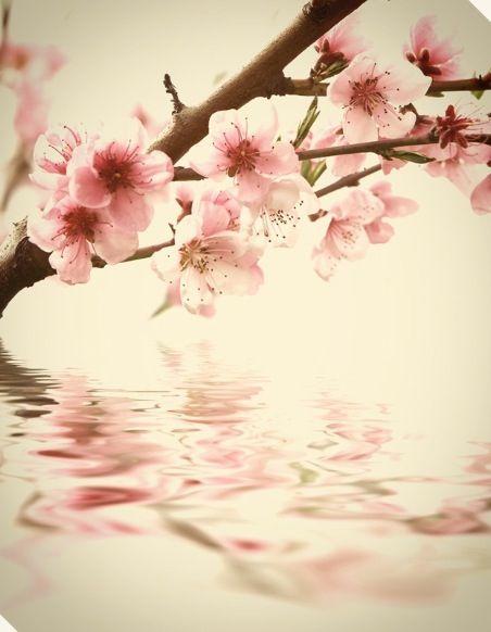 Cherry Blossom Beautiful Flowers Most Beautiful Flowers Flowers