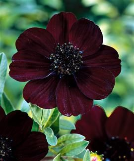 Chocolate Cosmos -- I brought this plant home from the Farmer's Market today
