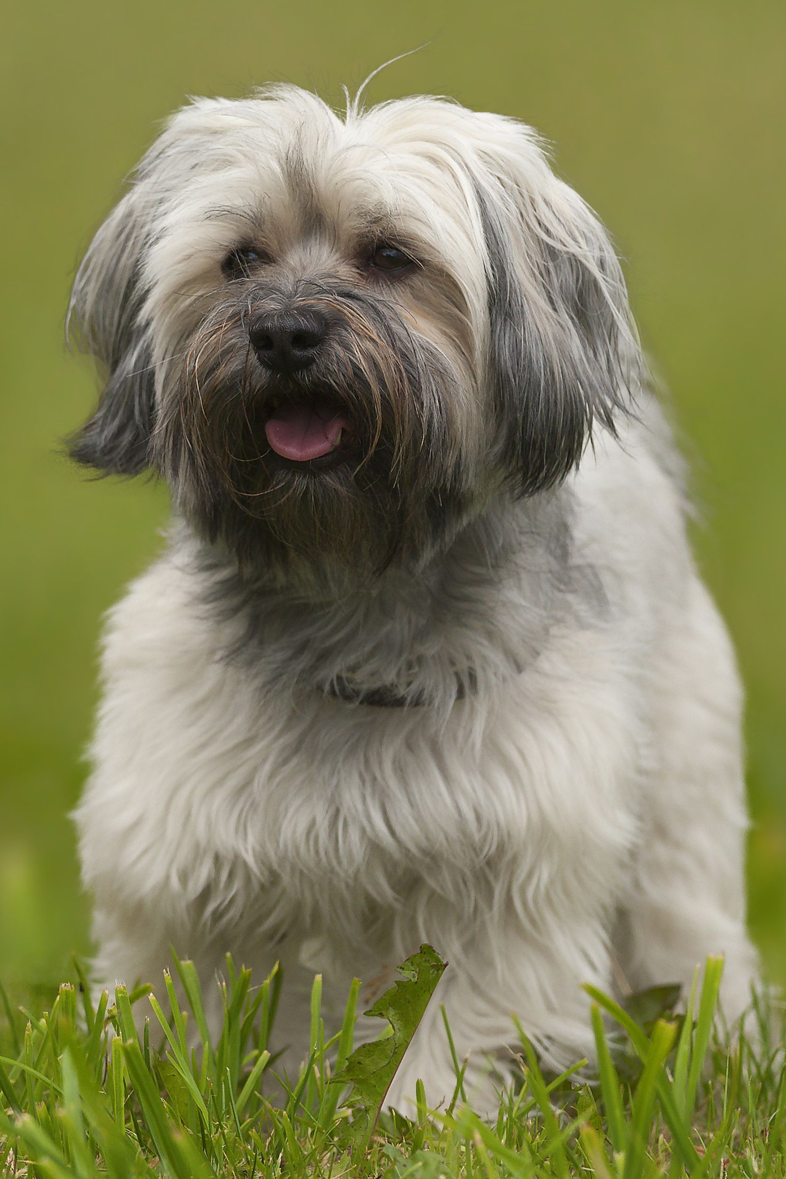 Havanese Townandcountrymag Terrier Dog Breeds Toy Cute Dogs