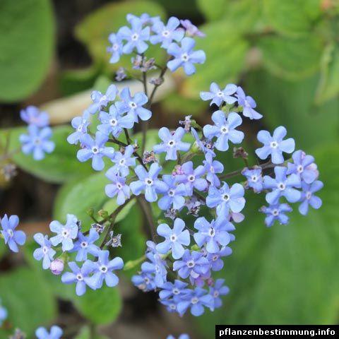 Blau blühende Pflanzen und Blumen bestimmen   Jardin/Terraza ...