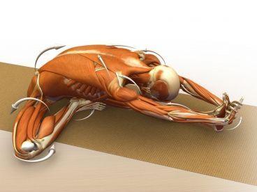 anatomy of a pose janu sirsasana ray long  yoga anatomy