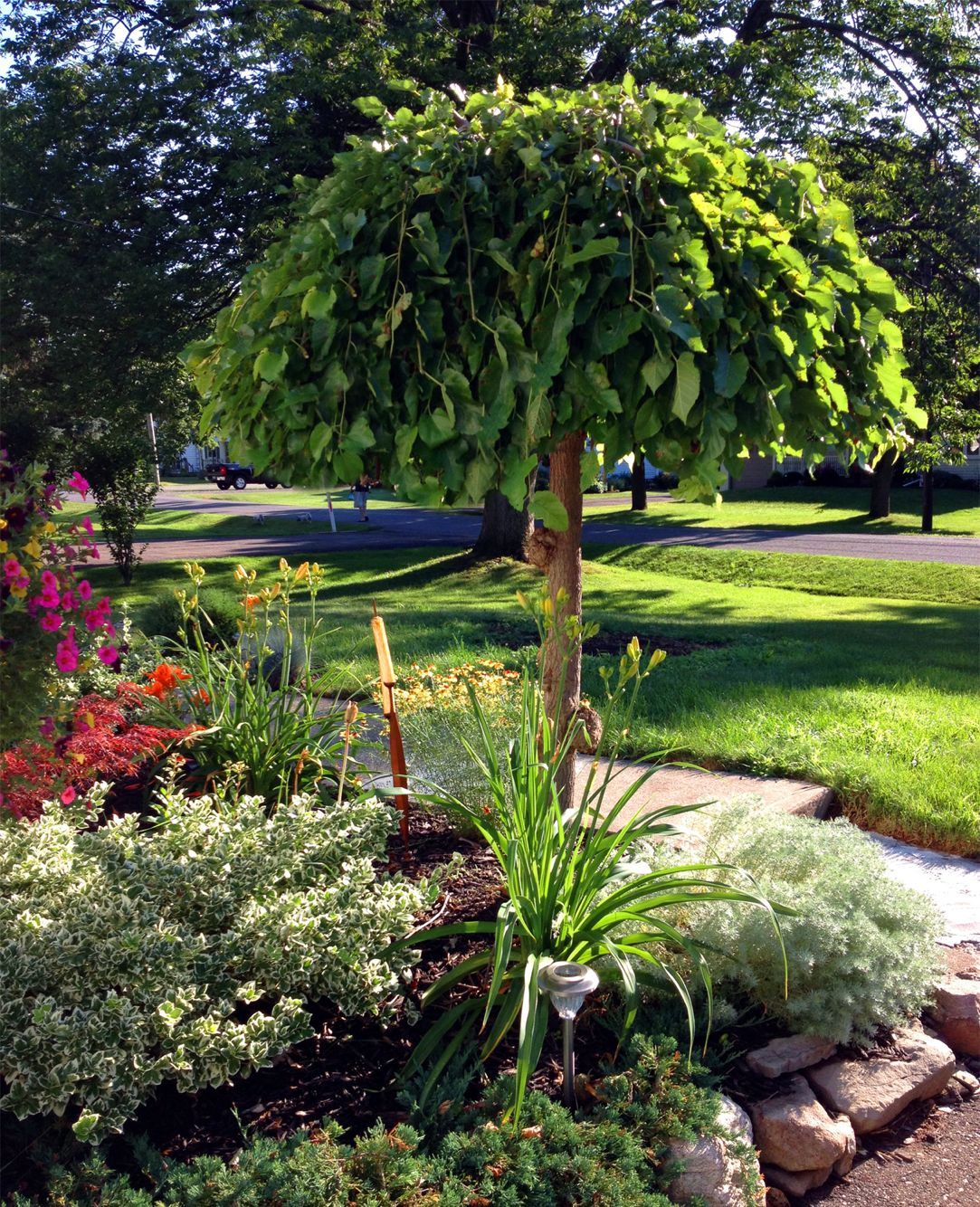Umbrella Tree Trees For Front Yard Evergreen Landscape Front