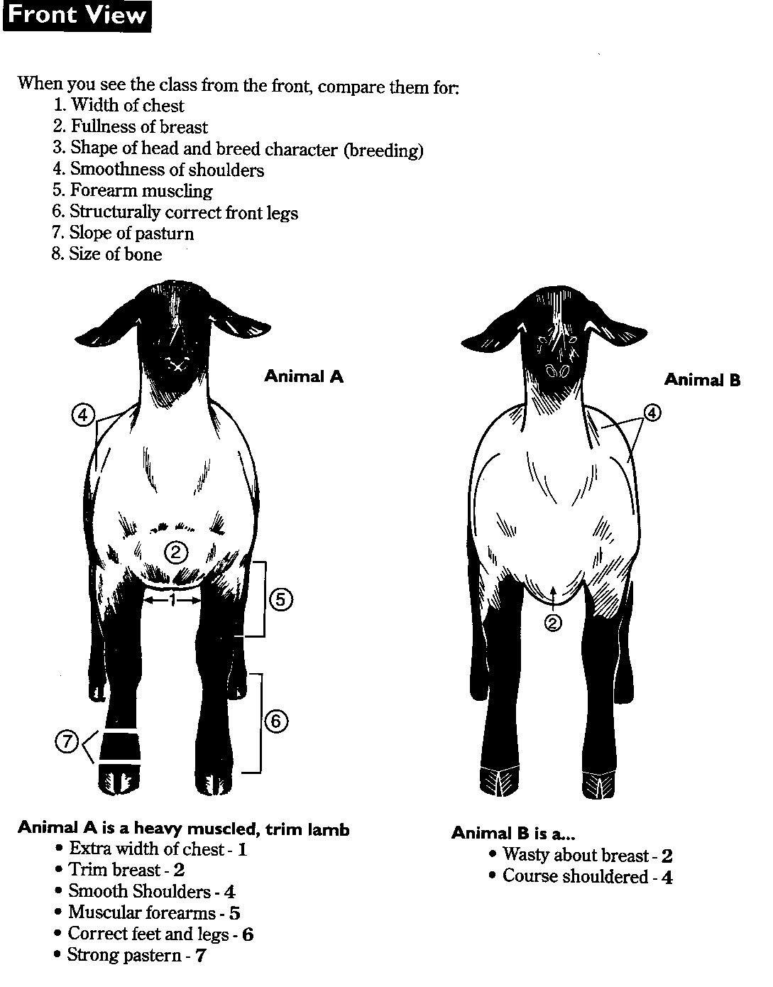 4-H sheep   Learning to judge 4-H Livestock Judging Programs