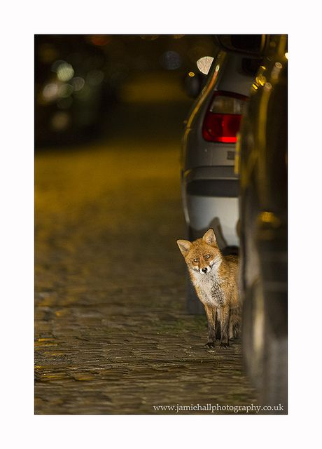 Urban Fox - Vulpes vulpesby Jamie Hall
