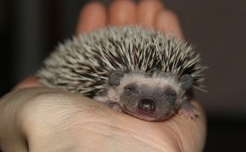 Available West Coast Hedgehogs Baby Hedgehogs For Sale In Oregon Hedgehog For Sale Baby Hedgehog Baby Hedgehogs For Sale