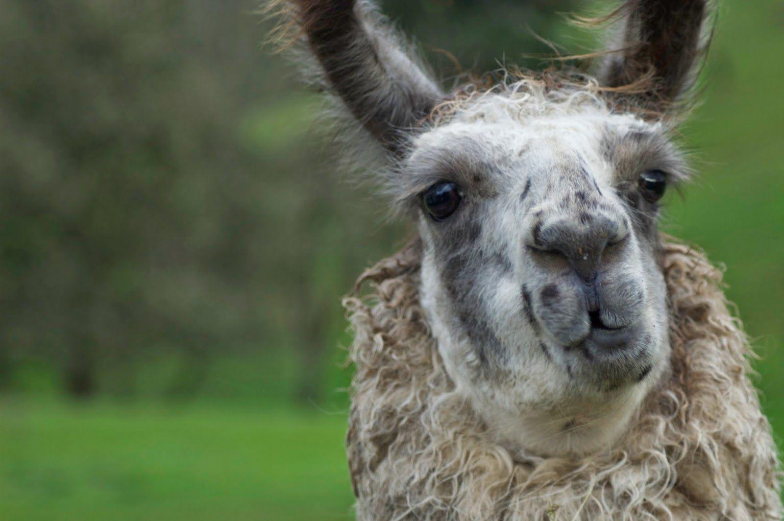Annabanana: Hungry Llamas