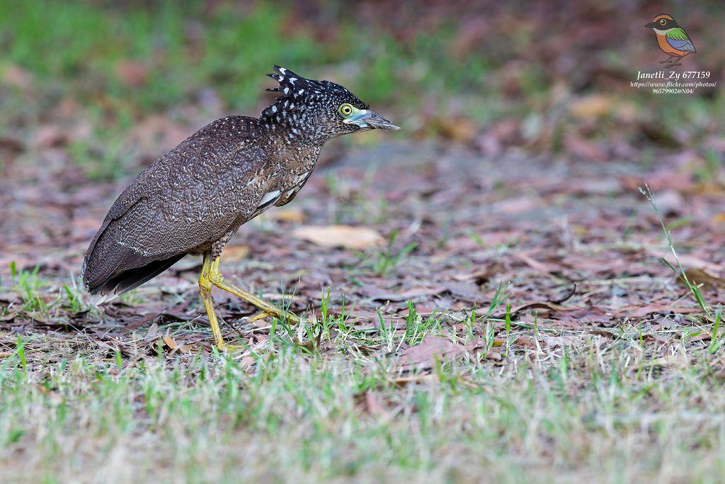 黑冠麻鷺 Malayan Night Heron