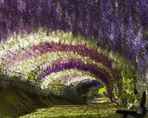 Amazing Fairy Tale Flower Tunnel In Japan Beautiful Flowers Garden Wisteria Garden Wisteria Tunnel