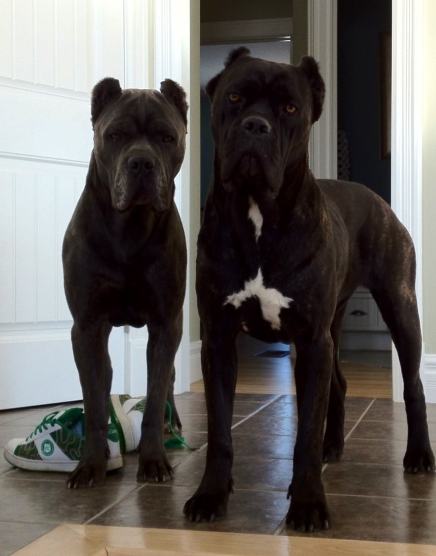 This Is Probably What Shiloh Looked Like As A Puppy So Cute Puppies Cane Corso Mastiff Puppies