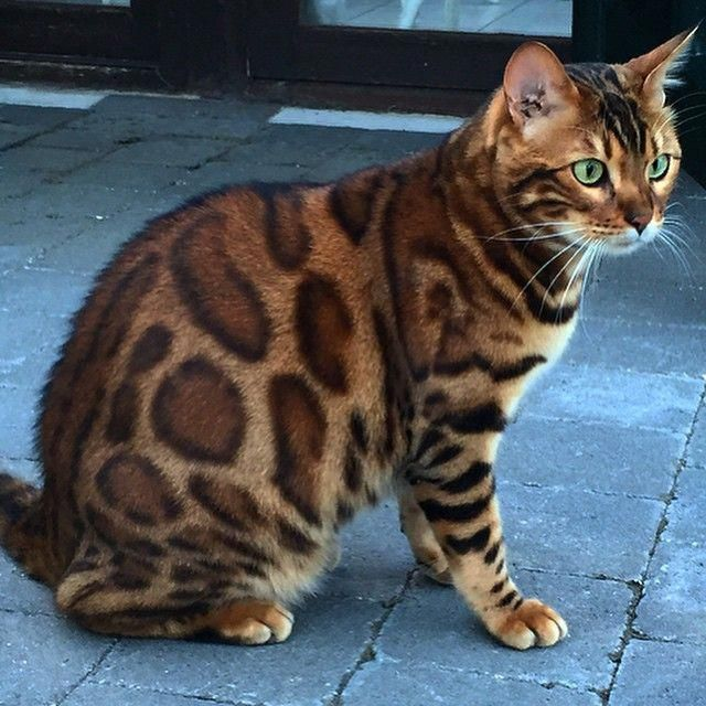 A Belgian Bengal Cat Whose Deep Green Eyes and Unique