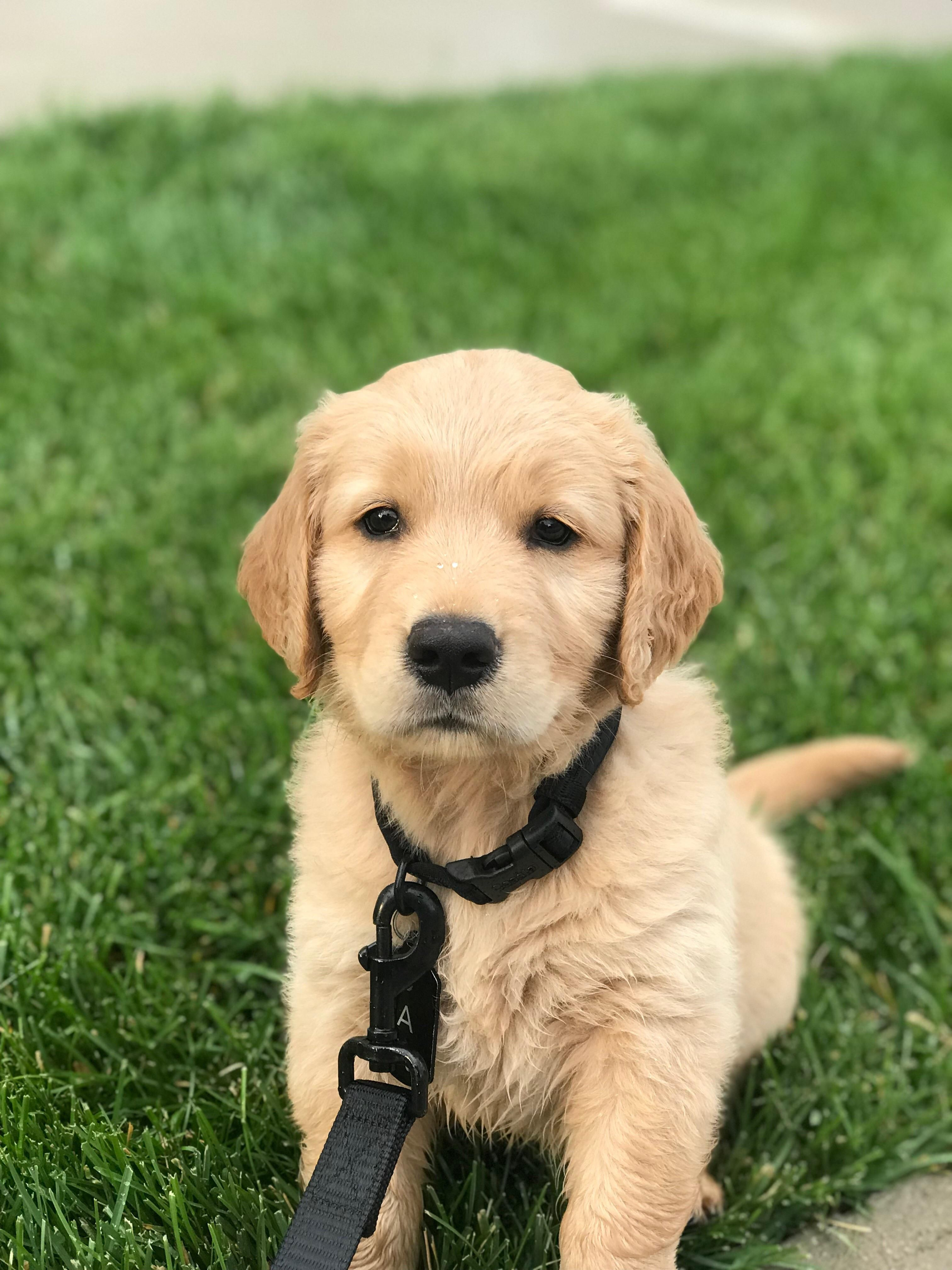 Day 2 golden retriever puppy retriever puppy golden