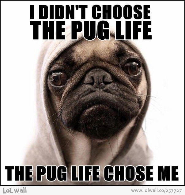 1000 Images About Pug Memes On Pinterest Funny Pugs Pug Meme