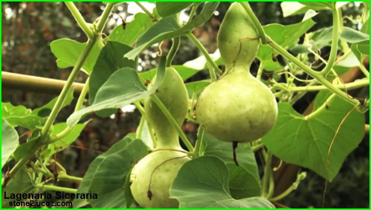 انواع فاكهة الكالاباش او الدباء Lagenaria قائمة الخضار النبات معلومات نباتية وسمكية معلوماتية Fruit
