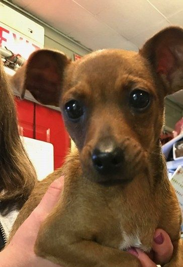 Chiweenie Dog For Adoption In Matawan Nj Adn 689115 On Puppyfinder Com Gender Male Age Baby Chiweenie Dogs Chiweenie Dog Adoption