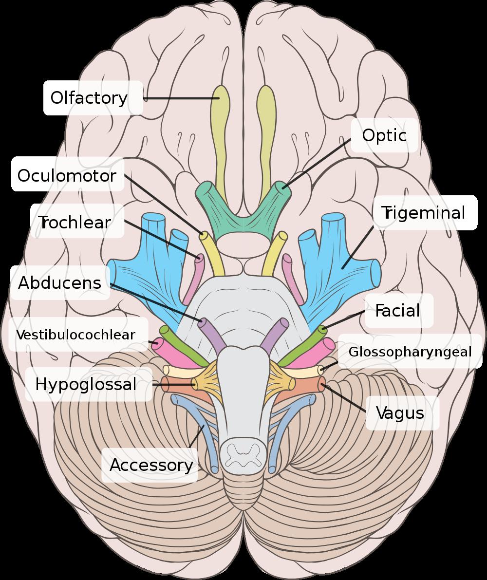 Printables Cranial Nerves Worksheet cranial nerves a rn bsn pinterest a