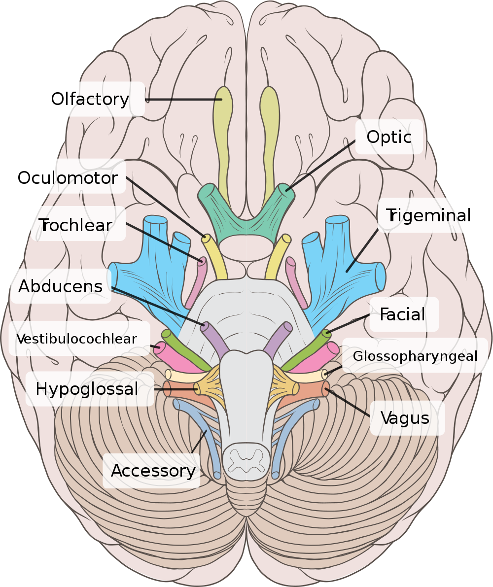 Cranial Nerves [a] | Anatomía radiológica | Pinterest | Medicina ...
