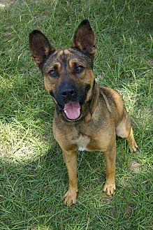 Bishopville Sc German Shepherd Dog Shar Pei Mix Meet Issac A Dog For Adoption Https Www Adoptapet Com Pet 18 Shepherd Dog Mix German Shepherd Dogs Dogs