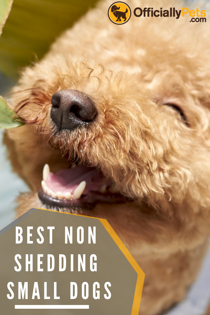 The Best Non Shedding Small Dogs 10 Hypoallergenic Dog Breeds Dog Allergies Can Be A Real Pa Dog Breeds That Dont Shed Dog Breeds Hypoallergenic Dog Breed