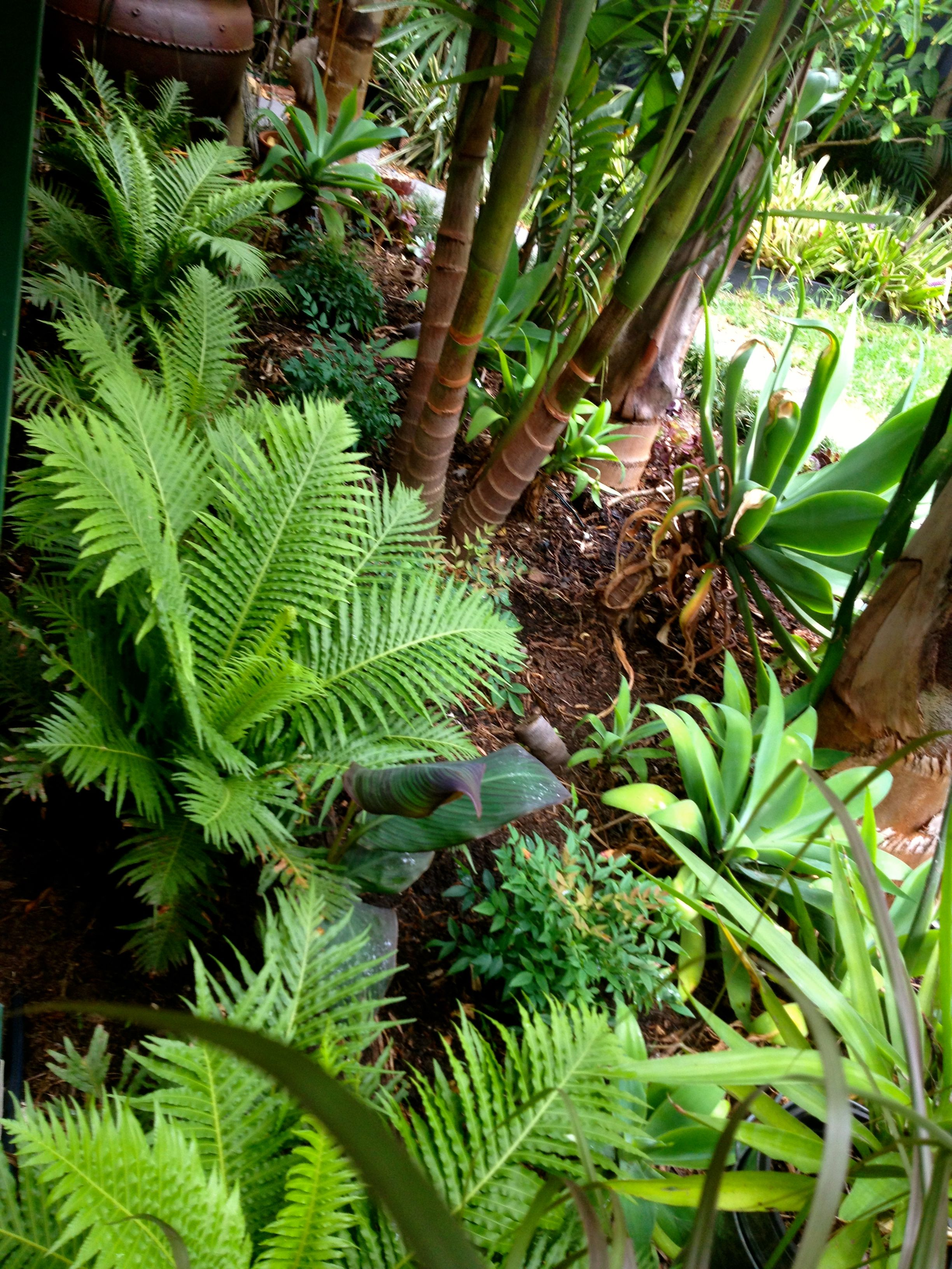 Silver Lady Ferns Growing Just Outside The Deck They Re Loving It Tuin Ideeen