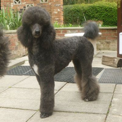 Standard Poodle Puppies 20 09 New Videos Poodle Puppies