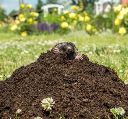 Pin On How To Undo The Damage Moles Have Done To Your Lawn