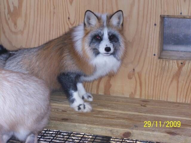 Calico Fox Quite Beautiful I Wonder If It S A Color