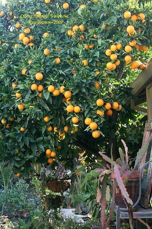 Valencia Orange Tree Full Size Picture Of Citrus Sinensis