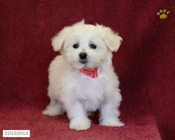 Holly Maltese Puppy For Sale In Ephrata Pa Maltese Puppy