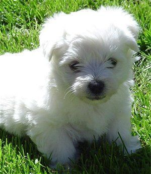 Wee Chon West Highland Terrior Bichon Frise Mix Just Like My