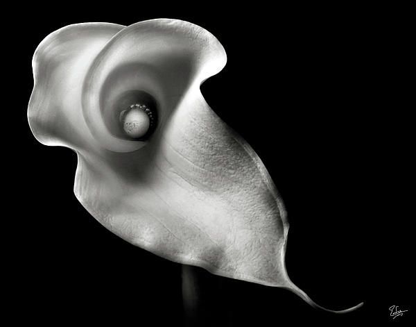 Calla Lily In Black And White