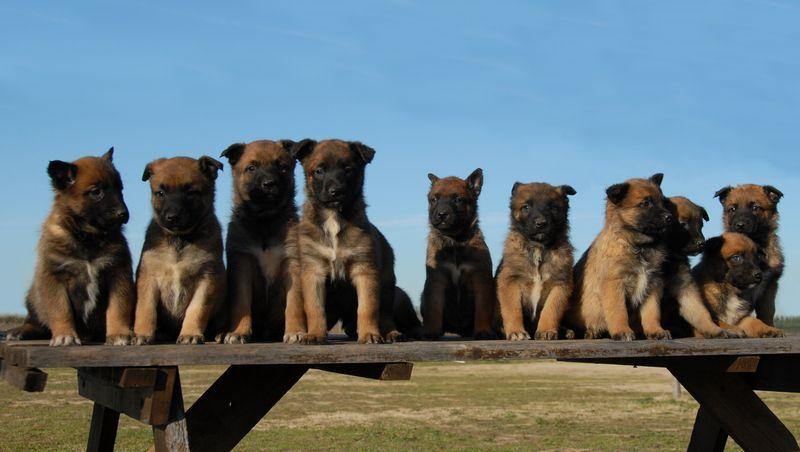 Belgian Malinois Belgian Malinois Dog Breeds Malinois Dog Belgian Malinois Dog Belgian Malinois
