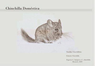 Chinchilla doméstica - Dunia Martínez Nágera