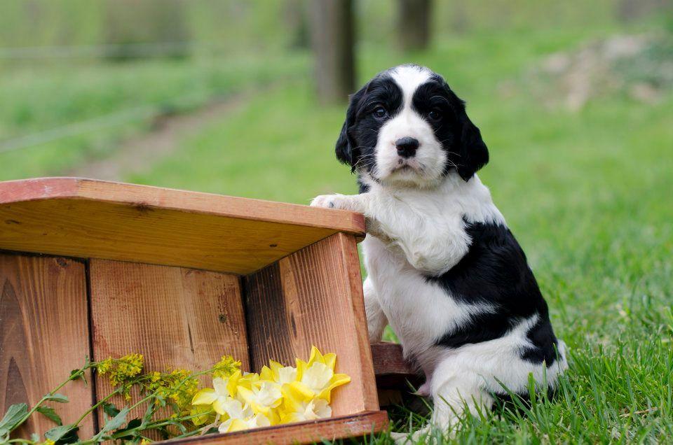 Birddoghill English Springer Spaniel Puppy Springer Spaniel English Springer Spaniel English Springer Spaniel Puppy