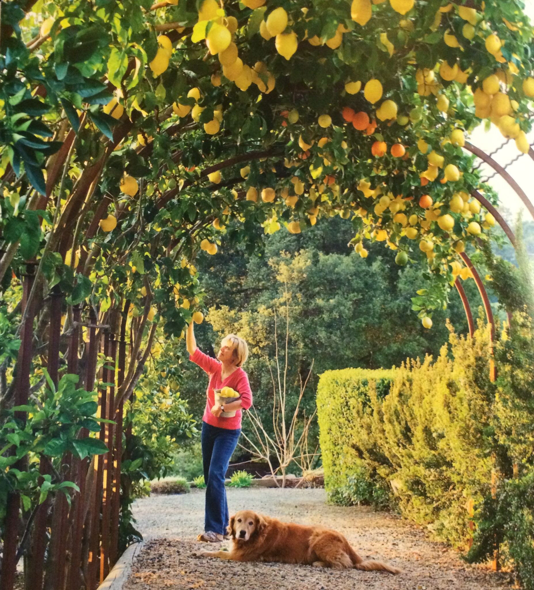 Genial Sunset Western Garden Book Of Landscaping   Lemon Trellis