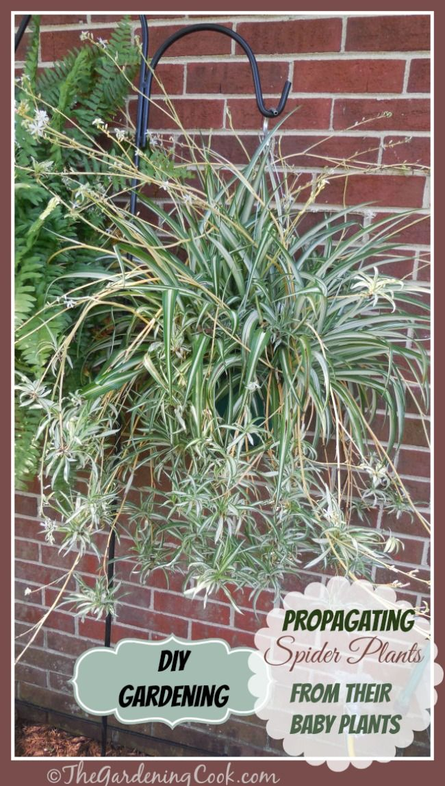 Propagate Spider Plants From Their Babies The Gardening Cook Plants Easy Plants To Grow Propagating Plants