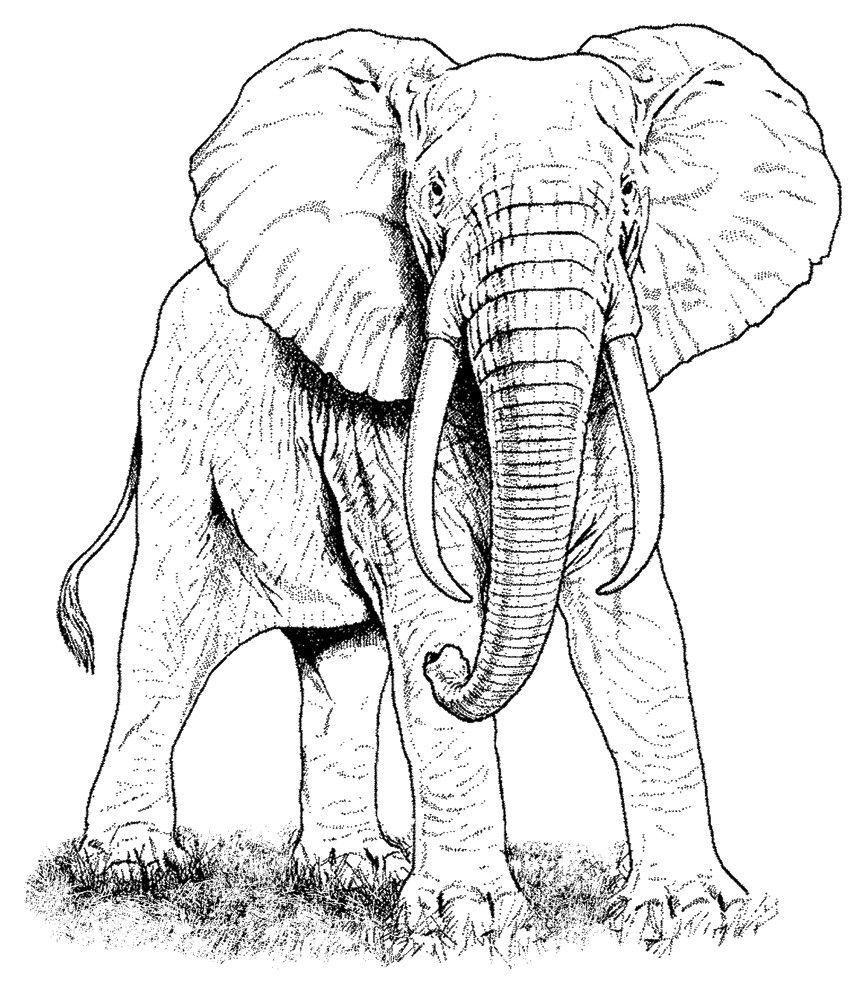 Elefante Tattoos Dibujos Para Colorear Dibujos De Elefantes Y