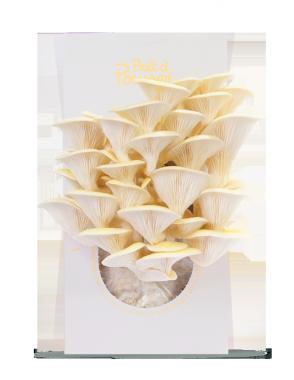 Go Grow Mushrooms growing kits. Grow mushrooms at home.