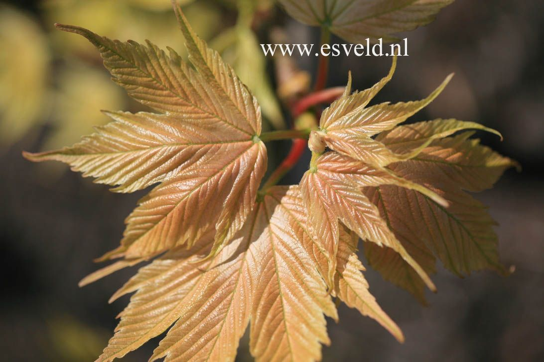 Acer Pseudoplatanus Prinz Handjery Japanese Maples
