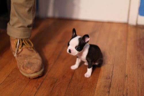 Teeny, tiny #puppy! His name is Snips! Double #squee!!! #dog