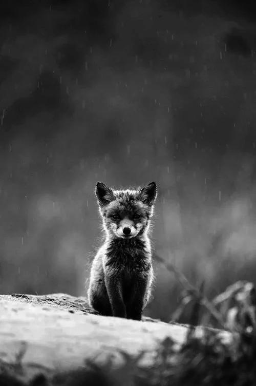 grafika fox, animal, and black and white