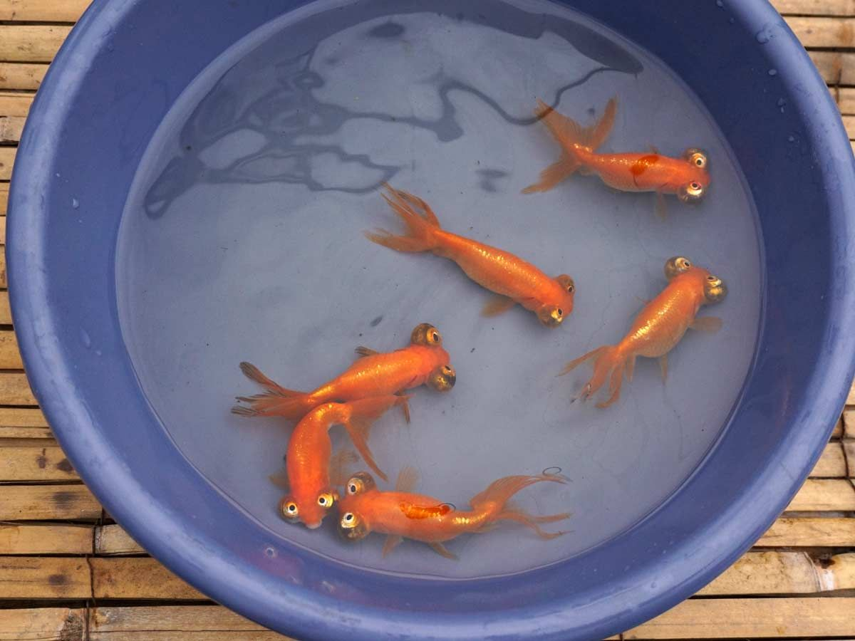 Imported Chinese Goldfish At Hydrosphere The Pond Experts Goldfish For Sale Goldfish Imported