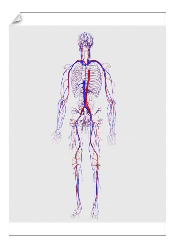 12+ A1 Poster. Human circulatory system