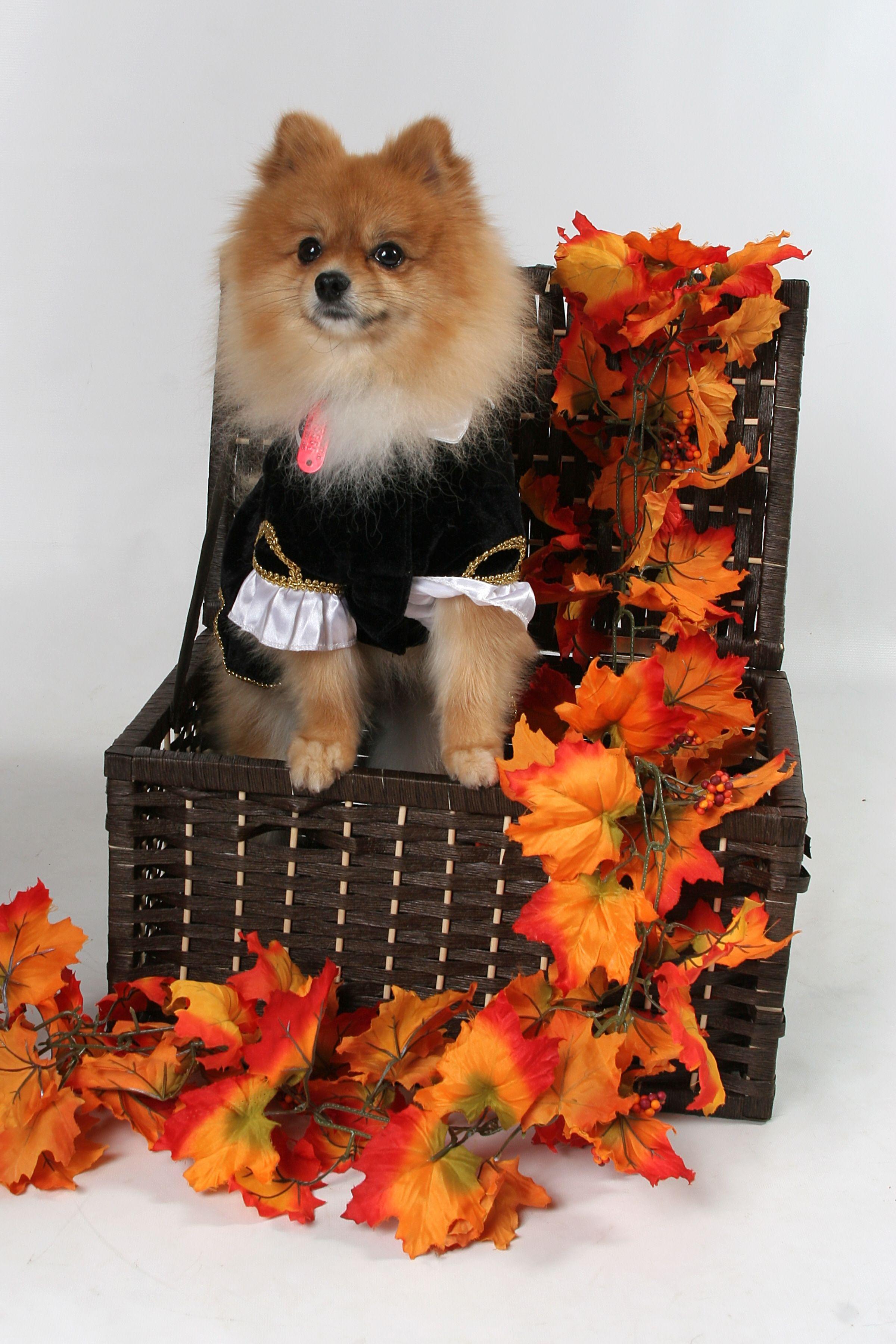halloween pomeranian dog costume | halloween wedding | pinterest