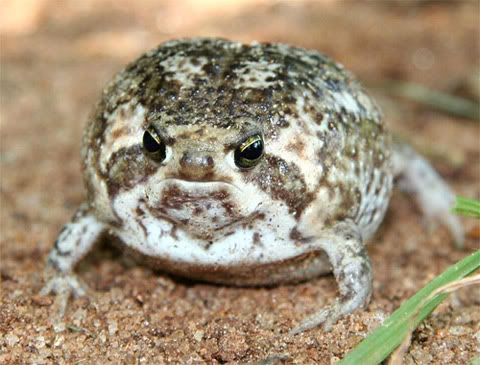 Desert Rain Frog Listen To It Frogs Types Of Frogs Frog