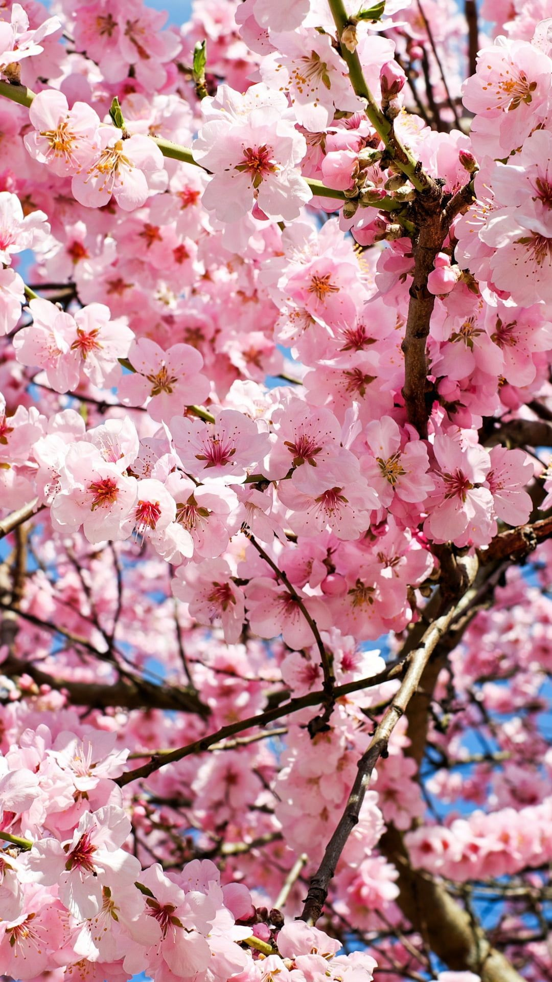 Cherry Blossoms In 2020 Cherry Blossom Wallpaper Japanese Cherry Tree Japanese Cherry