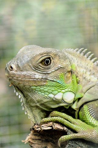 Gorgeous iguana!   Would love to own one.