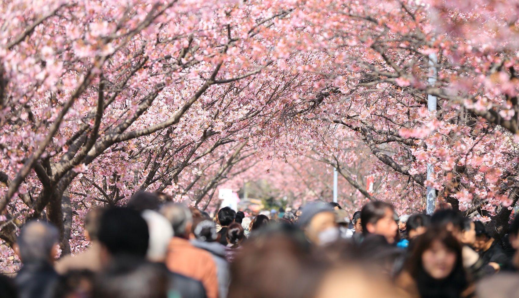 Photo By Kazuend Unsplash Cherry Blossom Symbolism Cherry Blossom Japan Cherry Blossom Meaning