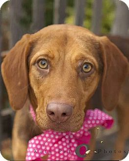 Austin Tx Beagle Vizsla Mix Meet Zoey A Puppy For Adoption