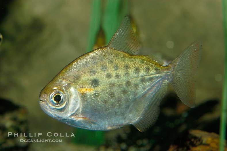 Silver Dollar A Freshwater Fish Native To The Amazon And Paraguay River Basins Of South America Metynnis Hypsauchen Natural Hi Fish Aquarium Fish Fish List