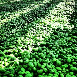 Sea of basil only in #Liguria!